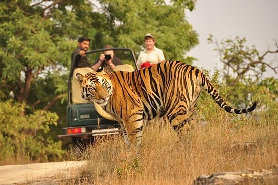 从斋浦尔出发:Ranthambore Tiger Safari私人一日游