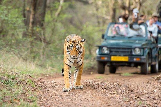 从斋浦尔出发:Ranthambore老虎野生动物园一日游