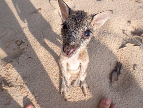 Questo piccolo Wallaby è stato avvistato al Tiwi Island Retreat! Progetto firmato da Matt Wright, il cacciatore di coccodrilli più famoso d'Australia. Tiwi Island Retreat ha aperto le prenotazioni per il 2020.