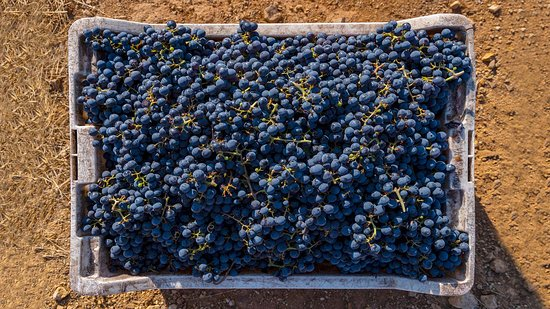San Javier, Chile: Hand selected high quality grapes!