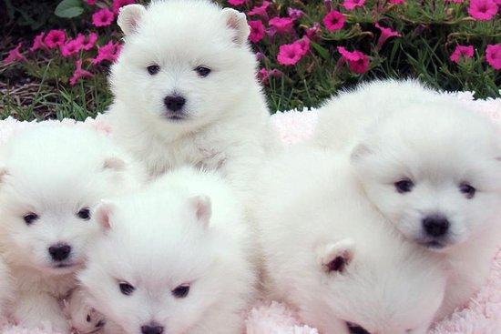 Wasatch Eskimo Puppies