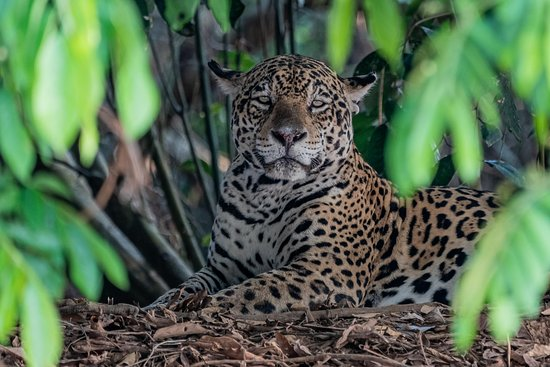 Wild Jaguar Safaris
