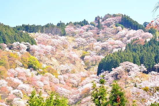 Sakura Viewing to Mt. Yoshino and Strawberry Picking Day Tour from...