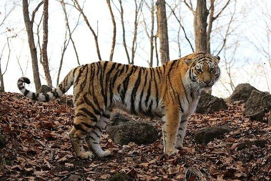 Rencontrez le tigre d'Amur et essayez...