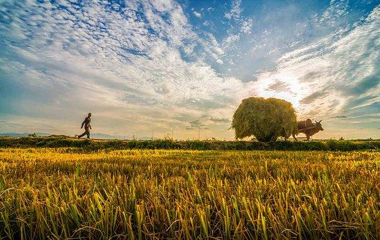 Phú Yên, Vietnam: Rice field in Phu Yen, Vietnam