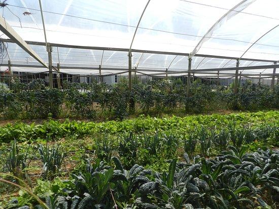 Centenario, Αργεντινή: uno de los invernaderos de la huerta orgánica