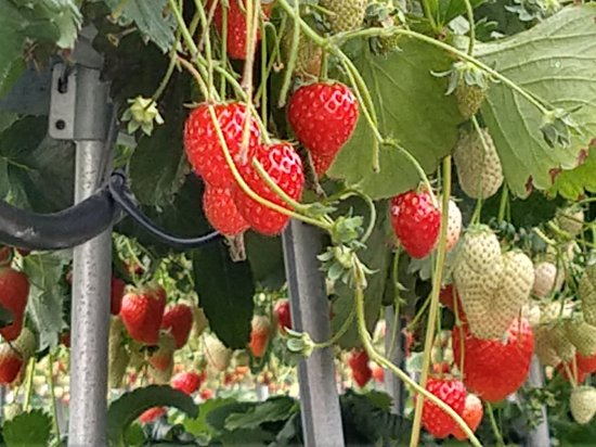 Hino Strawberry Farm