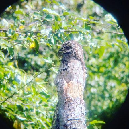 Osa Mangrove Tours: Common potoo