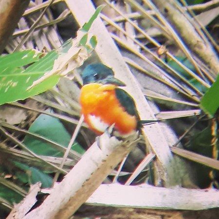 Osa Mangrove Tours: American pygmy kingfisher