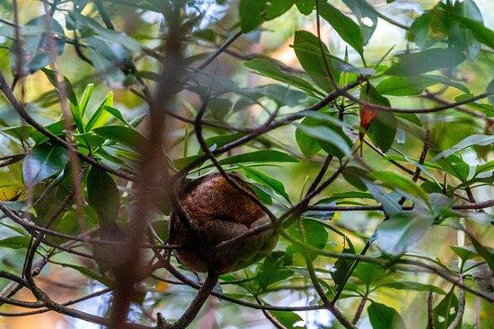 Silky Anteater