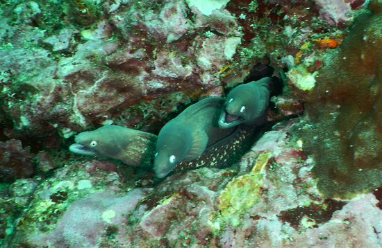 3 white eyed moray eels sharing a home