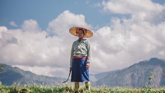 Shan woman harvesting rice