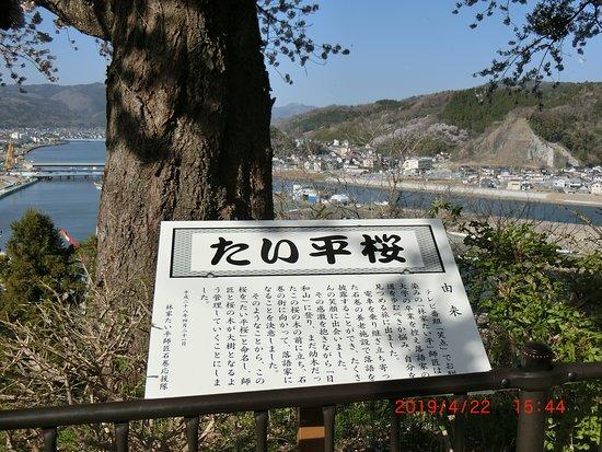 Taihei Cherry Blossoms