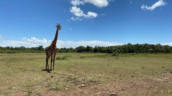 Εθνικό καταφύγιο Μασάι Μάρα, Κένυα: Beautiful landscape with a Mara giraffe