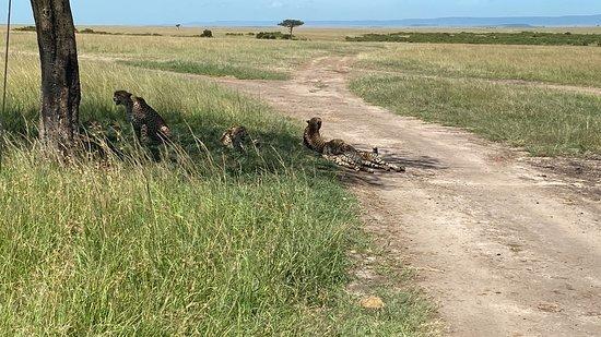 Εθνικό καταφύγιο Μασάι Μάρα, Κένυα: 5 cheetahs lying under a tree