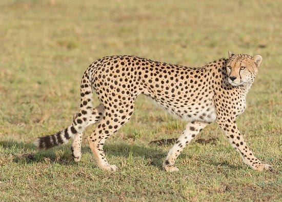 Εθνικό καταφύγιο Μασάι Μάρα, Κένυα: Masai  Mara cheetah