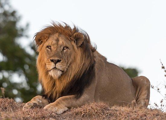 Εθνικό καταφύγιο Μασάι Μάρα, Κένυα: Male lion at the Masai mara
