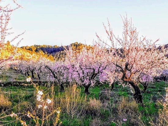 Provincia de Albacete, España: Almendros en flor