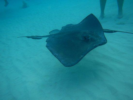 Grand Cayman: sting ray