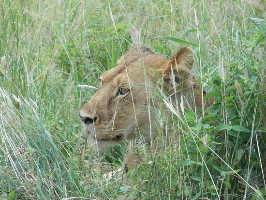 Lioness Serengeti