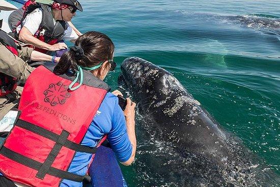 Foto de Pacific Grey Whales San Ignacio Lagoon