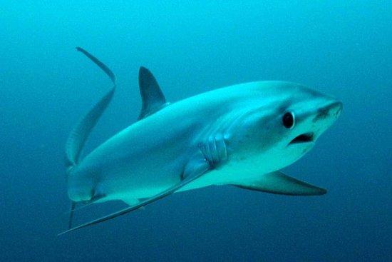 Thresher Shark Dive from Malapascua Island