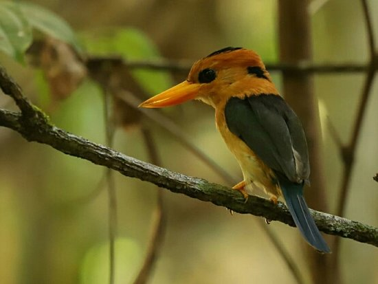 Sorong, Indonésie: Yellow-billed Kingfisher.