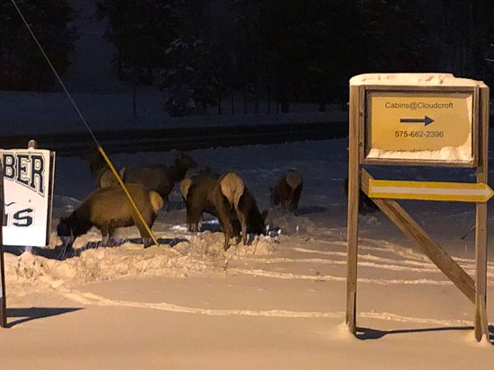"Elk foraging for food in 8"" snow February 7, 2020"