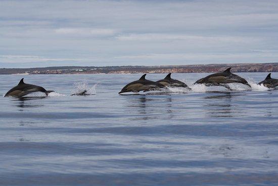 Dolphin Seafaris - Portimão