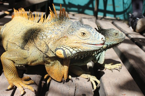 Green Iguana Conservation Project Tour: Big One