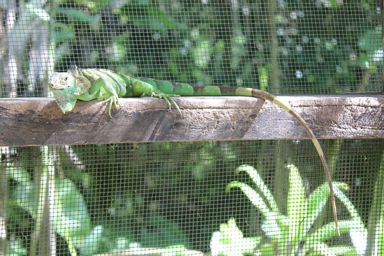 Green Iguana Conservation Project Tour: Green Iguana