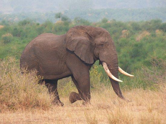 5 Day Gorillas, Wildlife and Chimpanzee Trekking Safari: Elephant in Queen Elizabeth