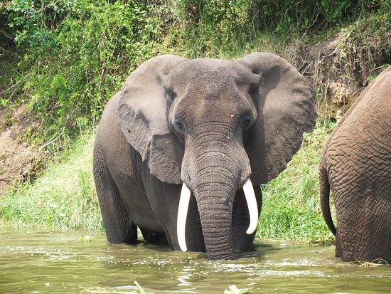 5 Day Gorillas, Wildlife and Chimpanzee Trekking Safari: Elephant on Kazinga channel