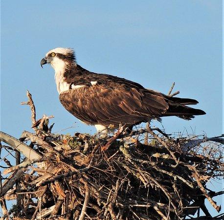 Fort Myers: Bootsfahrt bei Sonnenuntergang: Osprey on nest.