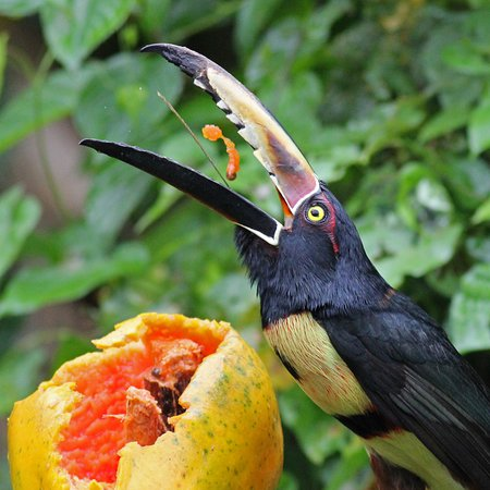 Aracari feeding on a papaya