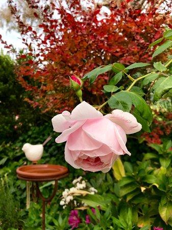 "Mica Grange Garden: Ceramic Bird Bath/Feeder with Delbard's ""Nahema"" rose"
