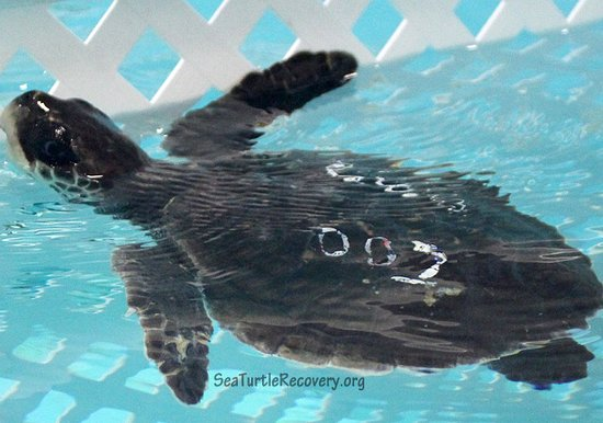 Уэст-Орандж, Нью-Джерси: Sea Turtle Recovery, STR, is a 501(c)(3) Nonprofit Organization dedicated to the rehabilitation of sea turtles and educating the public on the important ecological role of sea turtles, threats endangering them, and ways to protect their future. STR provides staffing, food, medicine, surgeries and other treatments to sick and injured sea turtles until they can be released back into the ocean. Sea Turtle Recovery also performs outreach throughout the region to raise awareness about sea turtles.