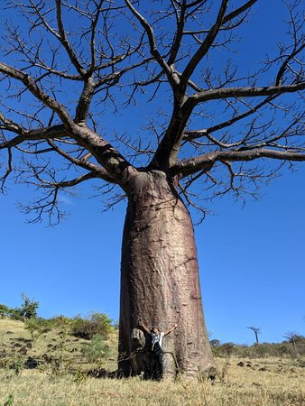 Antsiranana Province, Madagaskar: Around the world the baobab plant are the most enjoyable trees.In madagascar the 6 of the 8 world species are endemic in the country;for instance this one is endemic in diego suarez named adansonia suarezensis