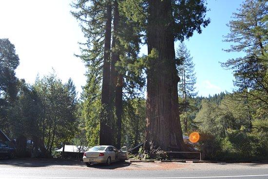 Piercy, CA: Tree house tree