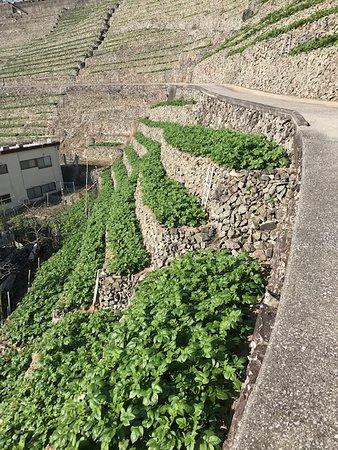 Uwajima, Japonsko: 急斜面の狭い畑に植えられているお芋 コントラストがきれい
