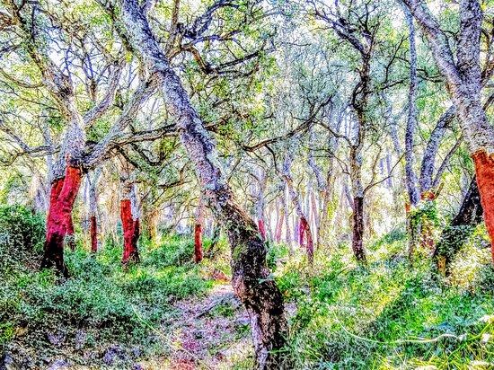 Les Useres, Испания: Alcornoques pelados para utilizar la corteza como corcho Cork trees that produce cork