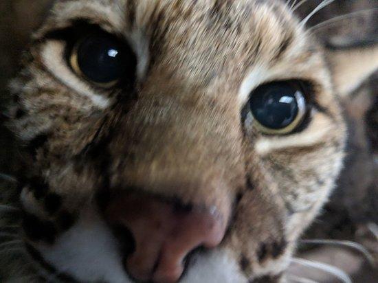 San Mateo, CA: Meet CuriOdyssey's bobcats up-close!