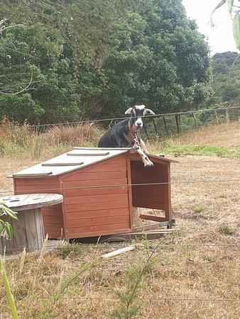 Whenuakite, Новая Зеландия: Flitwick the Goat