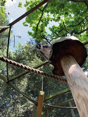 Reedham, UK: Ring tailed Lemurs