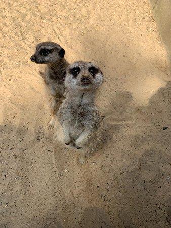 Reedham, UK: Meerkats