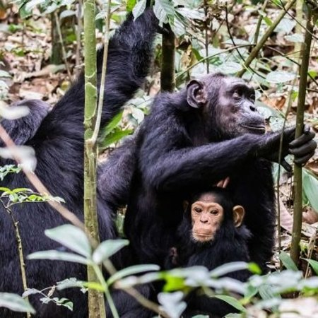 Kayabwe, Uganda: We are located in the planes of mountain Rwenzori national Park ,we do chimpanzee tracking for group Tour, family Tour, adventure, honey moon, back Packers among many others