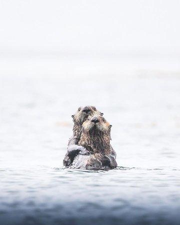 Meeresotter zählen zu den verspieltesten Küstenbewohnern BCs. Wusstet ihr, dass sie sich im Schlaf aneinander festhalten und sich auch im Seetang einrollen, damit die Strömung und Wellen sie im Schlaf nicht wegtreiben?   📷: @chase.teron Kyuquot im Nordwesten von Vancouver Island.
