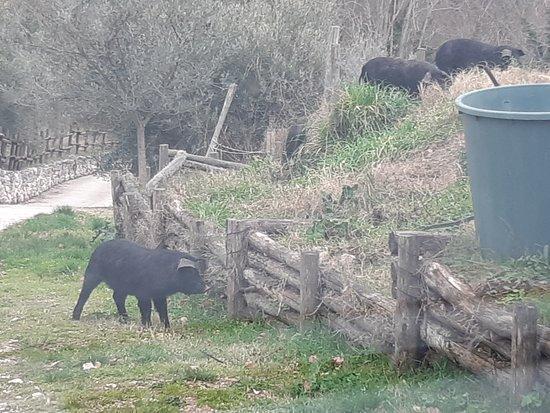 Poggio Moiano, Italy: maiali neri liberi