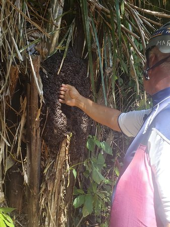 Caves Branch, Belize: Mark Lopez showing us a termite nest that has long been dead, telling us how people would eat them, said they taste woody and minty lol