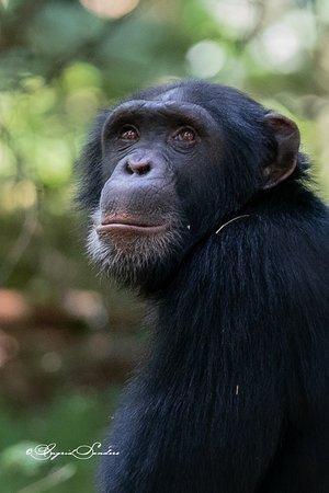 Остров Рубондо, Танзания: Chimpansee